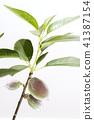 almond, fruit, fruition 41387154