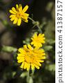shungiku, bloom, blossom 41387157