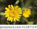 shungiku, bloom, blossom 41387159