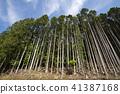 cedar forest, japanese cedar, forest 41387168