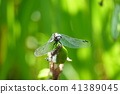แมง,แมลงปอ,แมลง 41389045