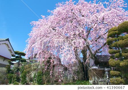 一棵樱花树 - 霍明宁的巴迪樱花 41390667