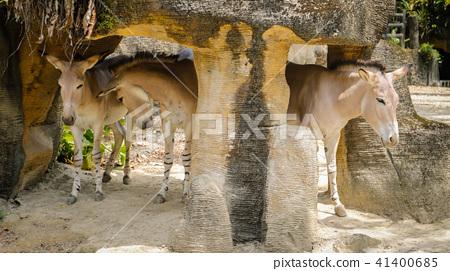 非洲野驢 41400685