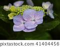 繡球花的繡球花 41404456