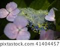 繡球花的繡球花 41404457