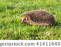 wildlife young european hedgehog on green grass 41411640
