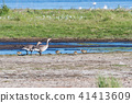 Greylag Goose family with chicks 41413609