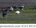Albino Greylag Goose in a flock feeding geese 41413614