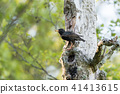 Adult starling with food 41413615