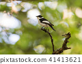 Male Collared Flycatcher on a twig 41413621