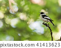 Singing songbird on a twig in a bright forest 41413623