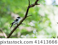 Singing Collared Flycatcher in a bright forest 41413666