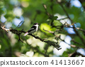 Songbird singing in a bright deciduous forest 41413667