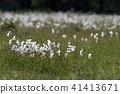 Common cotton grass view 41413671