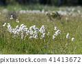 Common cotton grass closeup 41413672