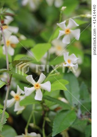 Asiatic Jasmine Asian Jasmine Bloom Stock Photo 41414440 Pixta