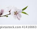 Pretty peach blossom flower in studio view  41416663