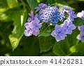 초여름에 피는 수국 꽃받침 수국 41426281