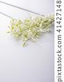 庫克敦蘭花 蘭花 花朵 41427148