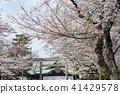 야스쿠니 신사의 벚꽃 41429578