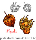 Physalis fruit or ground cherry berry sketch 41430137