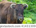 Wagyu in Iriomote Island 41431309