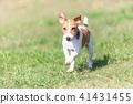 傑克羅素梗犬 41431455