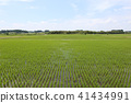paddy, summer, rice 41434991
