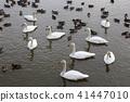 백조, 물새, 수조 41447010