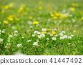 봄 들꽃 1 41447492