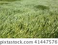 바람에 흔들리는 밀밭 41447576