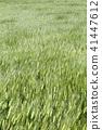바람에 흔들리는 밀밭 41447612
