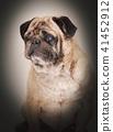 portrait of a pug dog 41452912