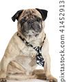 dog pug in tie 41452913