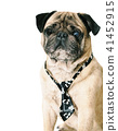 dog pug in tie 41452915