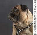 dog pug in a tie 41452918