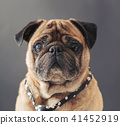 portrait of pug in a tie 41452919