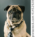 portrait of pug in a tie 41452920