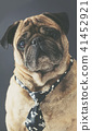 portrait of pug in a tie 41452921