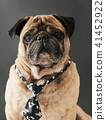 portrait of pug in a tie 41452922