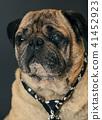 portrait of a pug dog 41452923