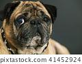 portrait of a pug dog 41452924