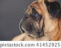 portrait of a pug dog 41452925