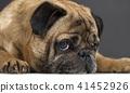 portrait of a pug dog 41452926