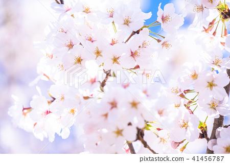 櫻桃樹盛開 41456787