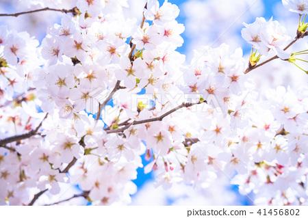 Cherry tree in full bloom 41456802