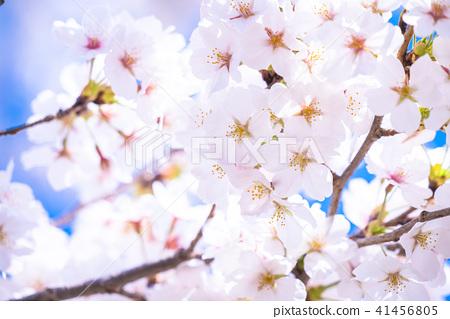 櫻桃樹盛開 41456805