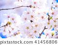 櫻桃樹盛開 41456806