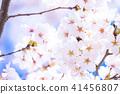 櫻桃樹盛開 41456807