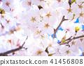 櫻桃樹盛開 41456808